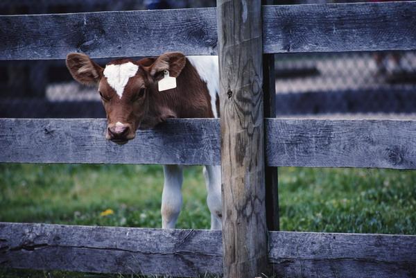 木栅栏 小牛 伸头 国外农场-农业-农业