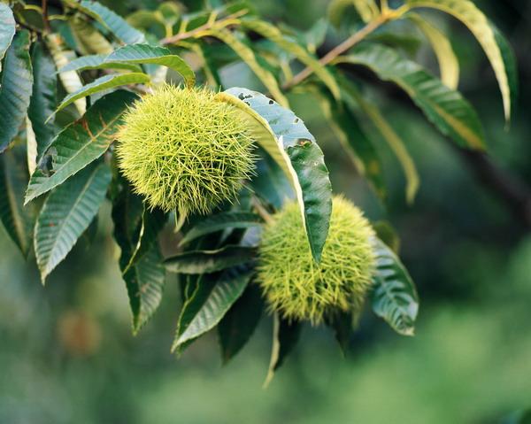 农业-水果天地 板栗 刺球 植物 自我 保护  板栗 刺球 植物 自我 保护 水果天地-农业-农业,水果天地