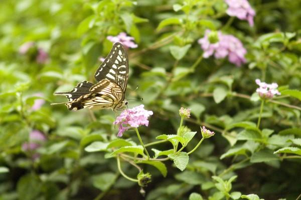 蝴蝶飞舞图片-动物图 花丛