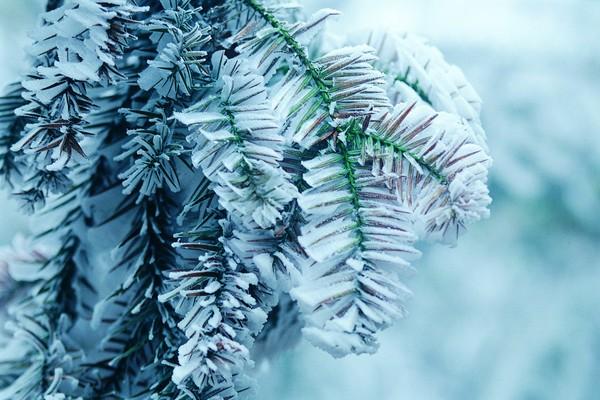 风景-冬天雪景 树叶 杉树 叶子