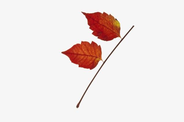 树叶图片-植物图 简笔画