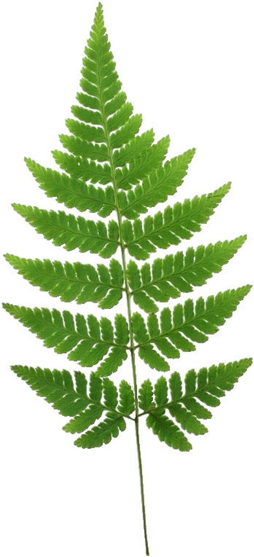 自然风景图 叶片 蕨类植物,自然风景,茂盛叶子