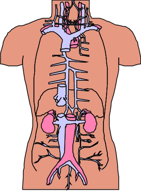 五脏六腑器官分布图-内脏图片 身体器官图,身体器官,内脏图片