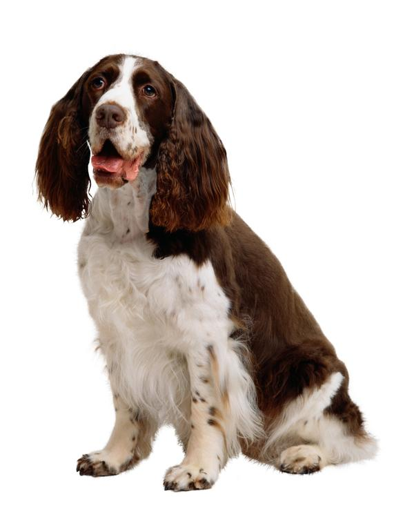 宠物之狗图片-动物图 长耳狗