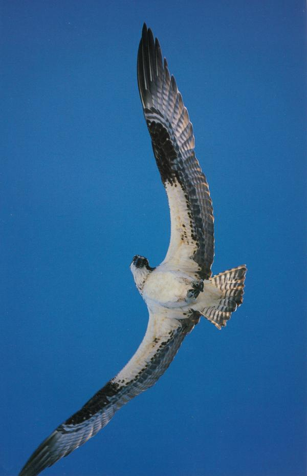 鹰击长空图片-动物图 展开