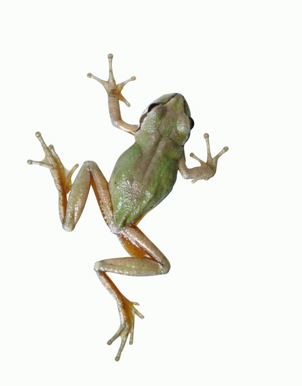 壁虎青蛙图片 动物图 蛙腿 跳跃 有力,动物,壁虎青蛙