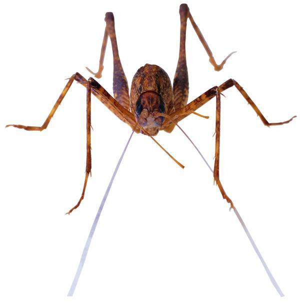 百类昆虫图片 动物图 黄色 拱腿 蛐蛐 ,动物,百类昆虫