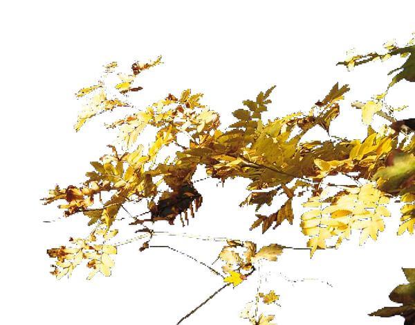 阳光 金黄色 耀眼 近景树-自然风景-自然风景,近景树