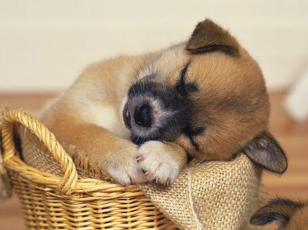 篮子 狗崽 灰色 可爱狗狗-动物-饮食水果,可爱狗狗