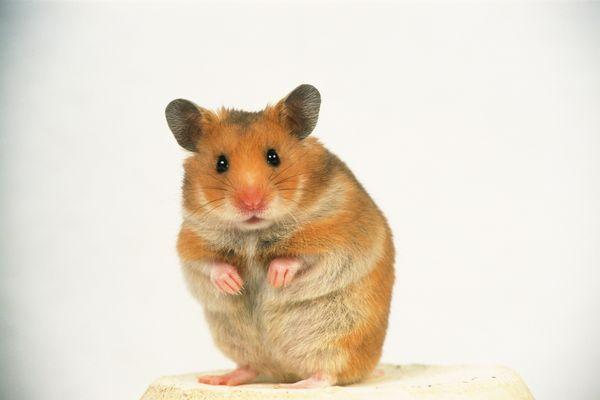 老鼠 动作 敏捷 可爱小动物-动物-饮食水果
