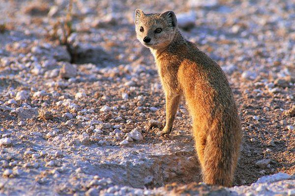 黄鼠狼 回头 打洞 珍稀动物-动物-饮食水果