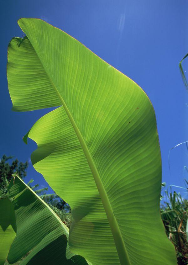 芭蕉 宽大 树叶 冲绳风情 海洋风情 海洋风情篇 冲绳