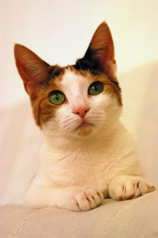 小花猫 坚耳静听 可爱 动物世界-动物-动物,动物世界