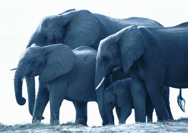 大象 小象 象群 野生动物-动物-动物,野生动物