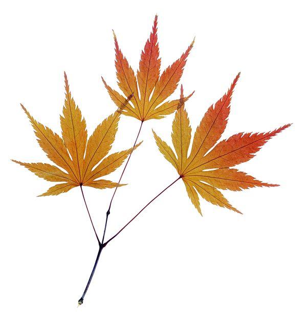 枫叶 霜寒 红色 绿叶-自然风景-自然风景,绿叶