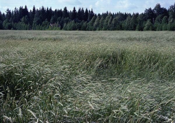 农村 农作物 麦子