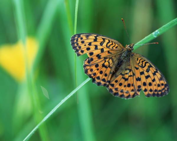 花草世界图片 自然风景图 蝶背 黑色 斑点,自然风景,花草世界