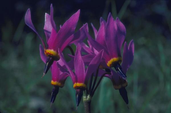 紫藤花 开放 鲜艳 鲜花盛开-自然风景-自然风景,鲜花盛开