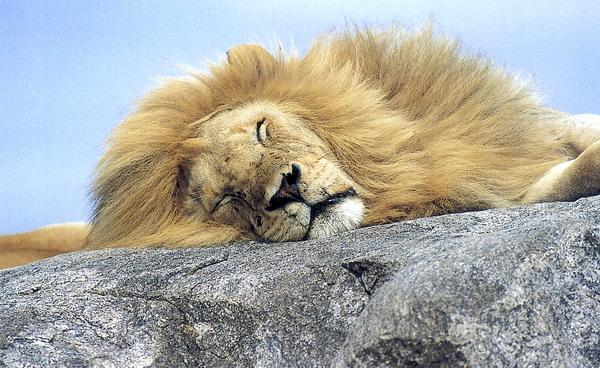 狮子 鬃毛 睡眠 凶猛动物-动物-动物,凶猛动物