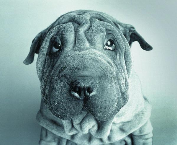 沙皮狗衣服_可爱穿衣服的雪纳瑞沙皮狗动物拟人化油画高清