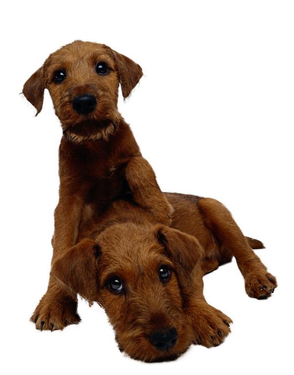 动物-宠物之狗 狗狗好朋友 嬉闹在一起 棕色纯种
