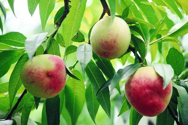 果园风光图片-农业图 桃子 水果 树叶,农业,果园风光