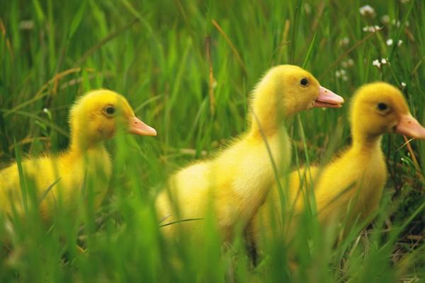可爱小动物图片-动物图 草丛 黄小鸭 结伴,动物