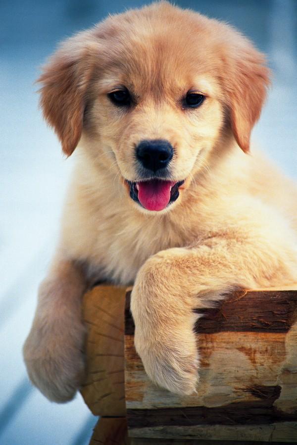 可爱狗狗图片-动物图 黄狗