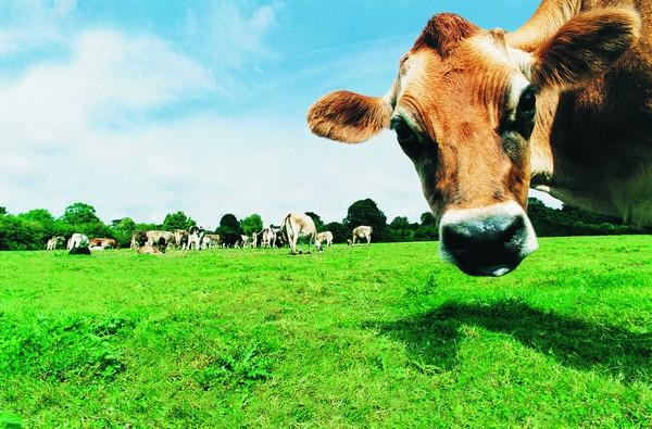 家畜图片 动物图 农场 好奇 牛崽,动物,家畜
