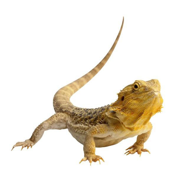 蜥蜴 爬行 尾巴 爬行动物与昆虫-动物-动物,爬行动物与昆虫