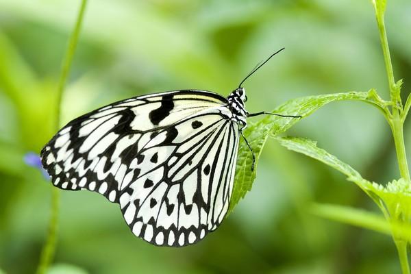 动物-蝴蝶飞舞 斑纹蝴蝶