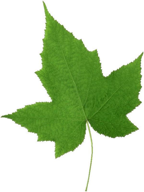 植物-树叶 形状 特别 造型