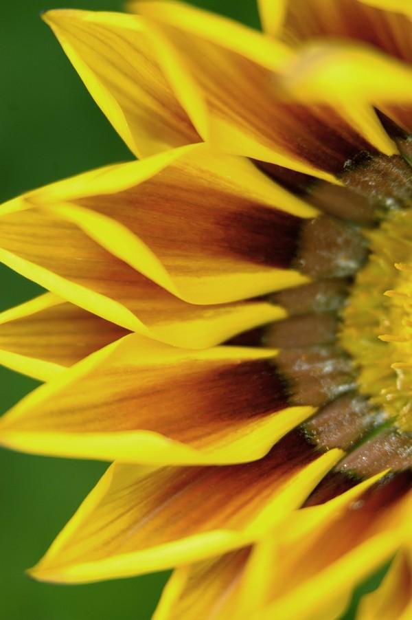 花草无语_花之写真图片-植物图 向阳 花瓣 萎缩 凋谢 向日葵 花朵 花蕊 ...