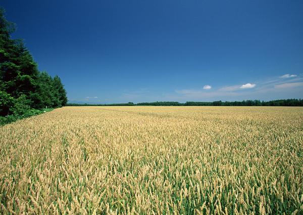 心旷神怡 繁密稻田 等待收获 田园风光-自然风景-自然风景,田园风光