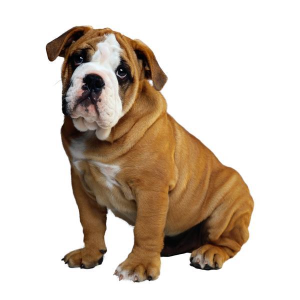 德国黑背德国牧羊犬_宠物之狗图片-动物 无辜 狗狗 蹲着,动物-宠物之狗