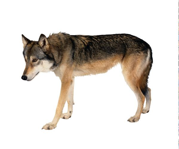 动物-宠物之狗 狼狗 俯视 侧面照