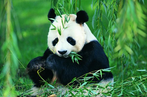 海狮冰雪熊图片-动物图 熊猫 国宝 竹叶,动物,海狮