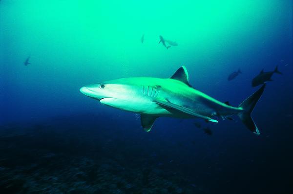 海底 鲨鱼 巨形动物 鲸鱼鲨鱼海豚-动物-动物,鲸鱼鲨鱼海豚