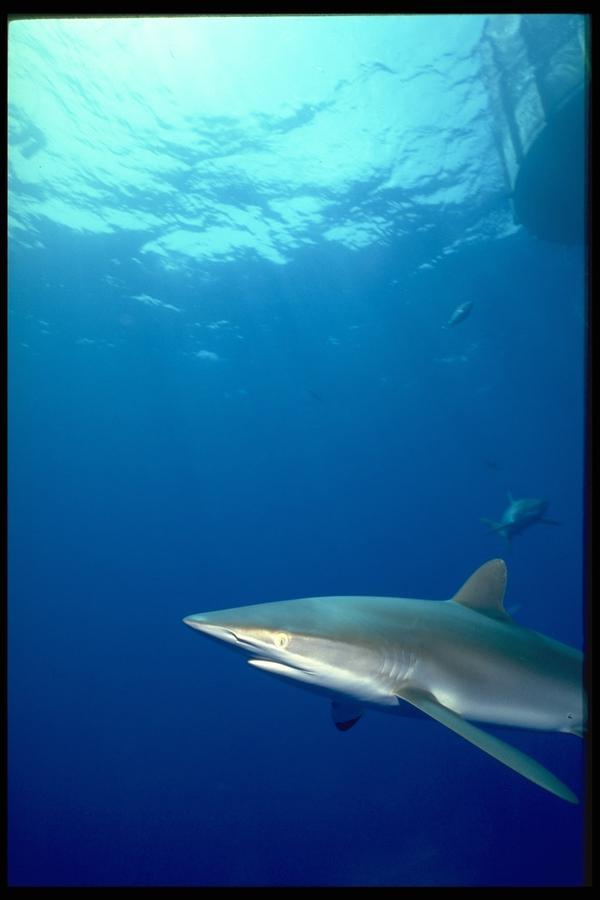 动物 海底世界 富国海底世界/海底世界图片/动物图深海鲸鱼白鲸,动物,海底世界