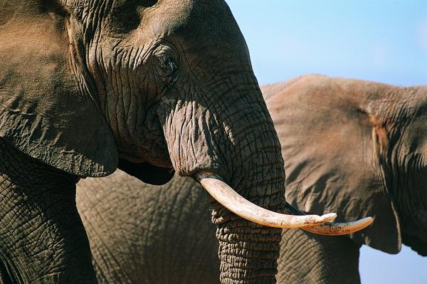 耳机 鼻子 牙齿 大象王国-动物-动物,大象王国