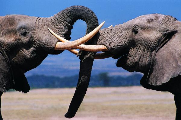 象群 打架 相斗 大象王国-动物-动物,大象王国
