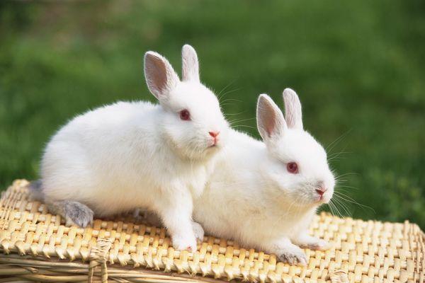 小白兔 全白 红眼睛 可爱小动物-动物-动物,可爱小动物