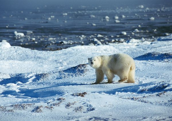 北极 雪地 北极熊 野生动物-动物-动物,野生动物