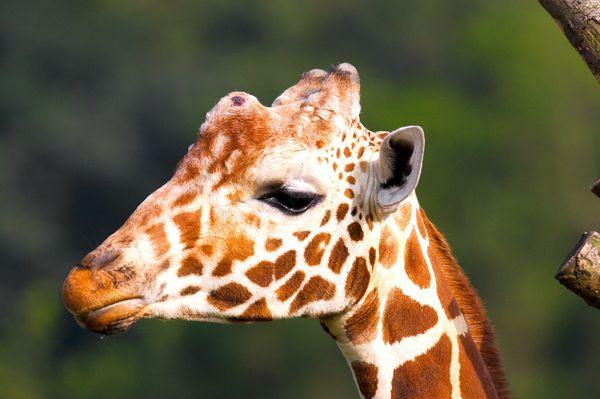 动物-动物表情特写 鹿脸 黄色 斑纹