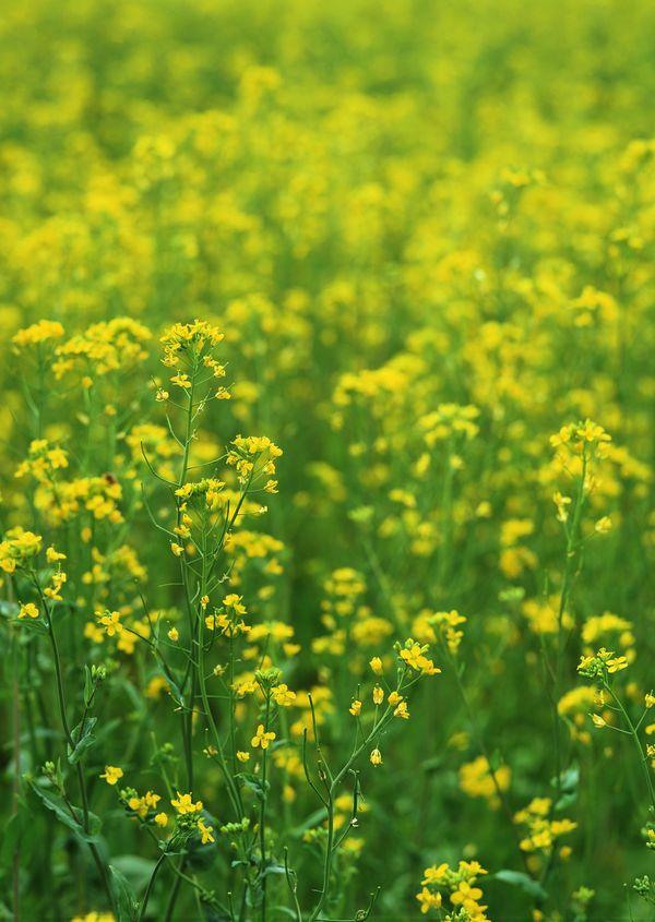 油菜花开图片 植物图 美丽的植物 大自然 油菜