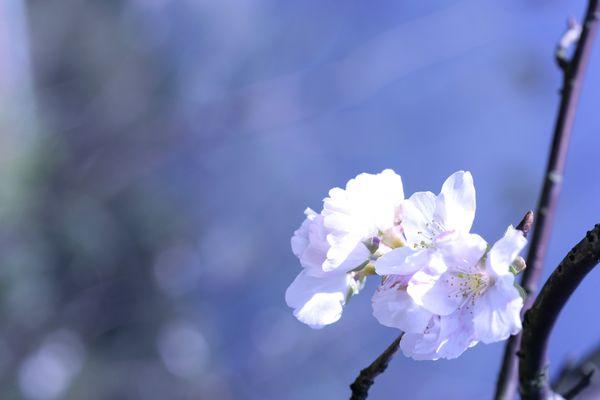美丽 樱花之美-风景系列-风景系列