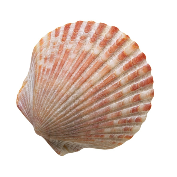 海底最大的贝壳图片