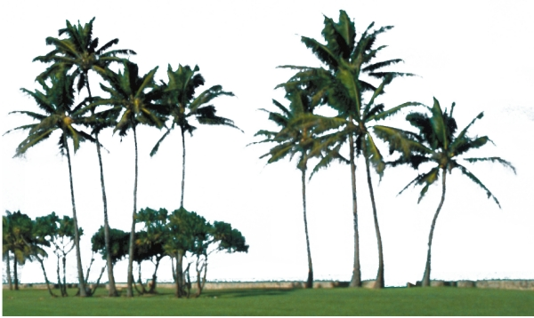 速写椰子树图片