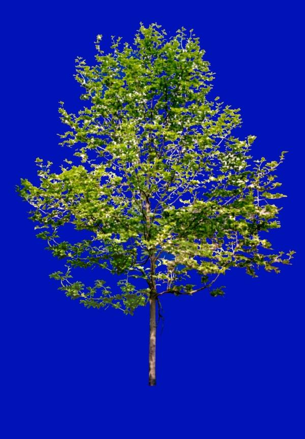 四季阔叶树图片-植物图