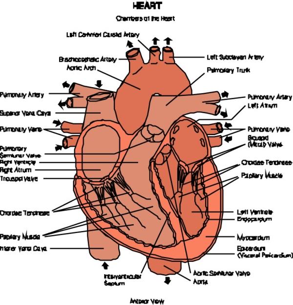 猪内脏的结构图
